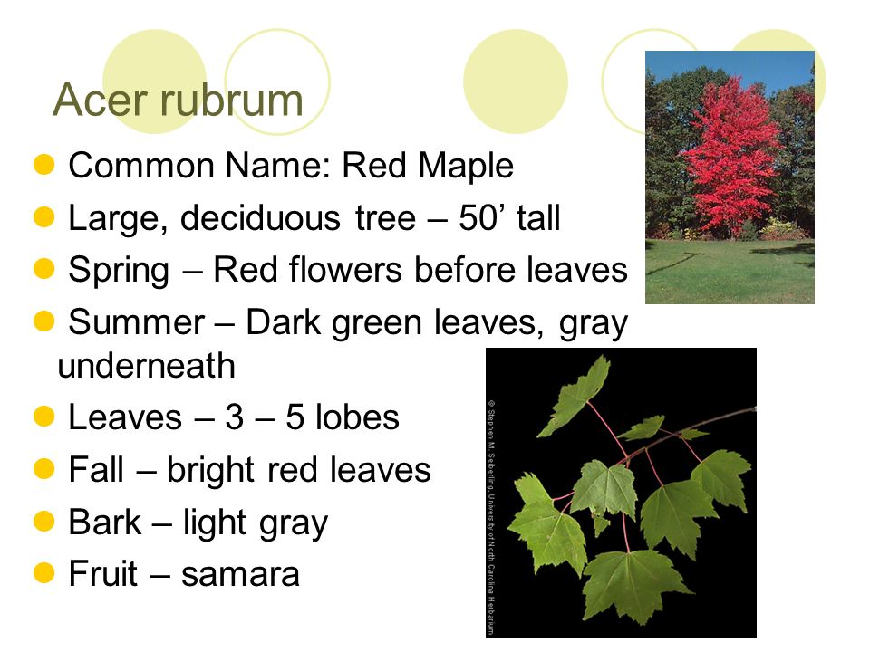 Acer rubrum Common Name: Red Maple Large, deciduous tree – 50 tall Spring – Red flowers before leaves Summer – Dark green leaves, gray underneath Leav