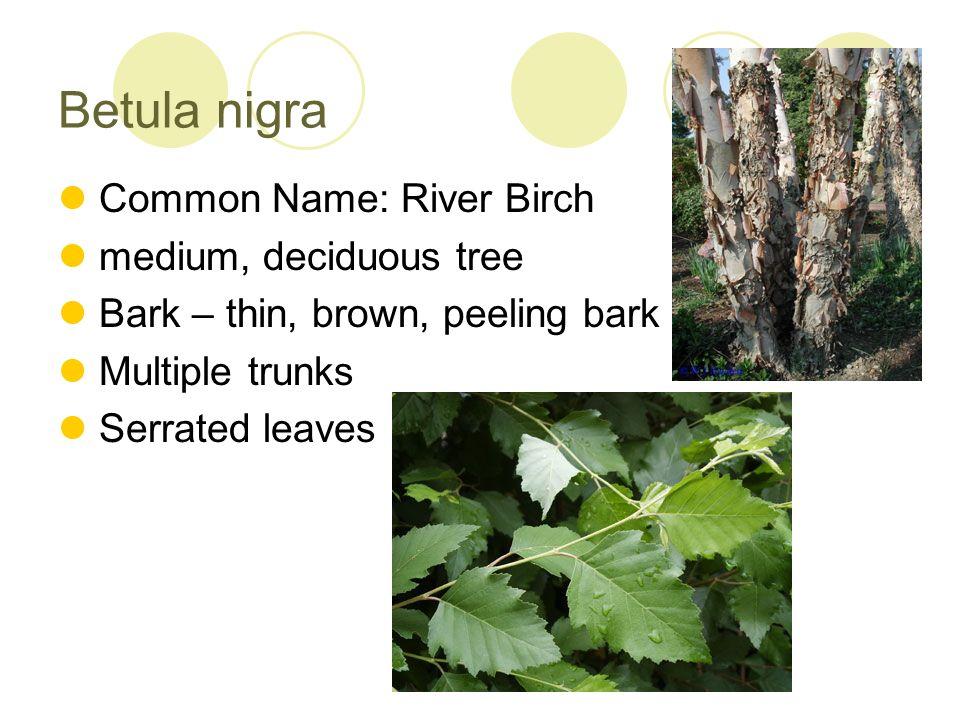 Betula nigra Common Name: River Birch medium, deciduous tree Bark – thin, brown, peeling bark Multiple trunks Serrated leaves