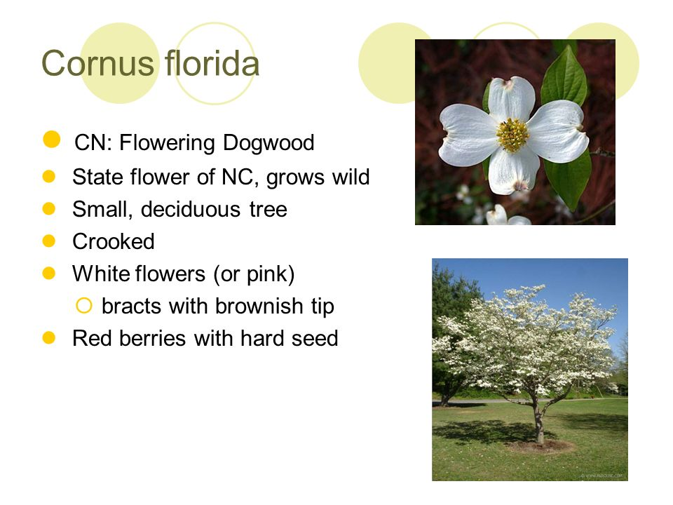 Cornus florida CN: Flowering Dogwood State flower of NC, grows wild Small, deciduous tree Crooked White flowers (or pink) bracts with brownish tip Red