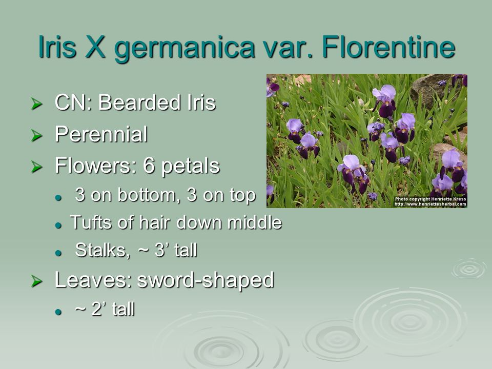Iris X germanica var.