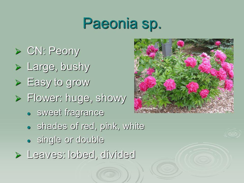 Paeonia sp.
