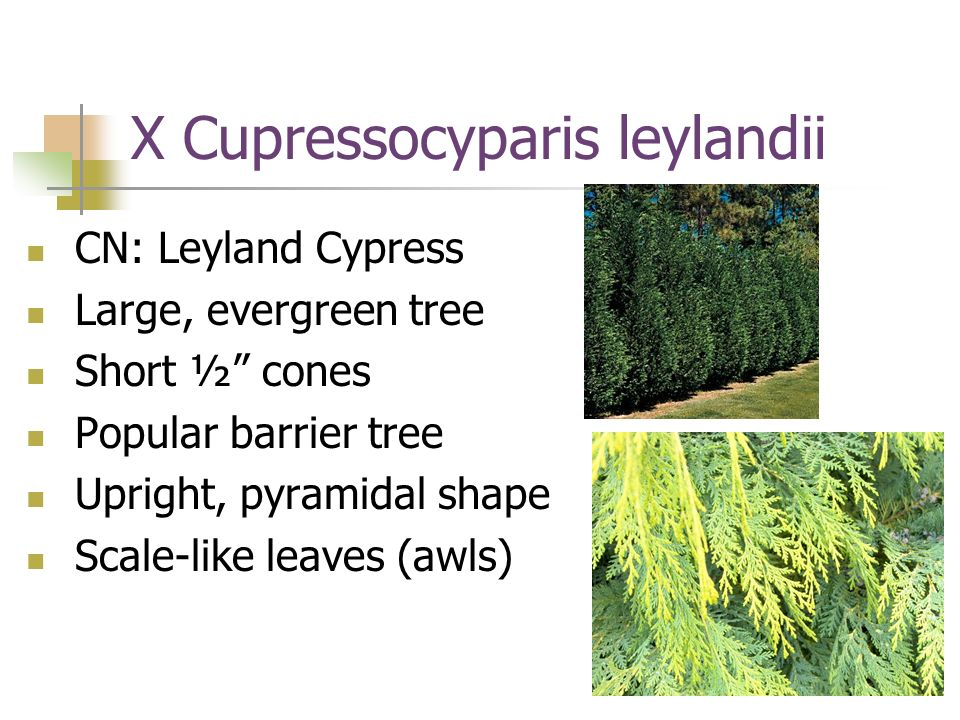 X Cupressocyparis leylandii CN: Leyland Cypress Large, evergreen tree Short ½ cones Popular barrier tree Upright, pyramidal shape Scale-like leaves (a