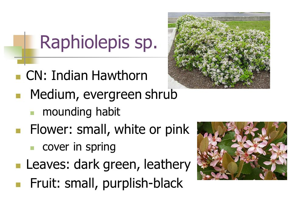 Raphiolepis sp. CN: Indian Hawthorn Medium, evergreen shrub mounding habit Flower: small, white or pink cover in spring Leaves: dark green, leathery F