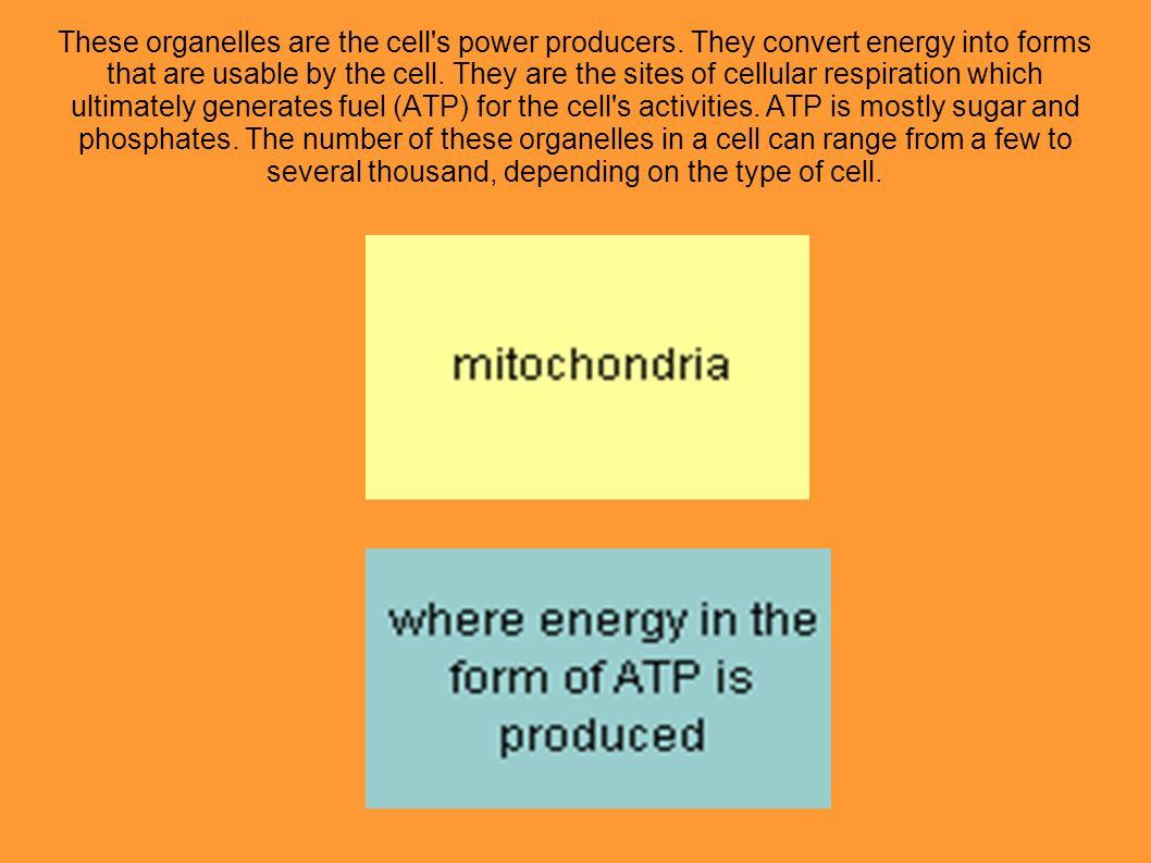 These organelles are the cell's power producers. They convert energy into forms that are usable by the cell. They are the sites of cellular respiratio