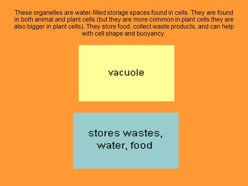 These organelles are water-filled storage spaces found in cells. They are found in both animal and plant cells (but they are more common in plant cell