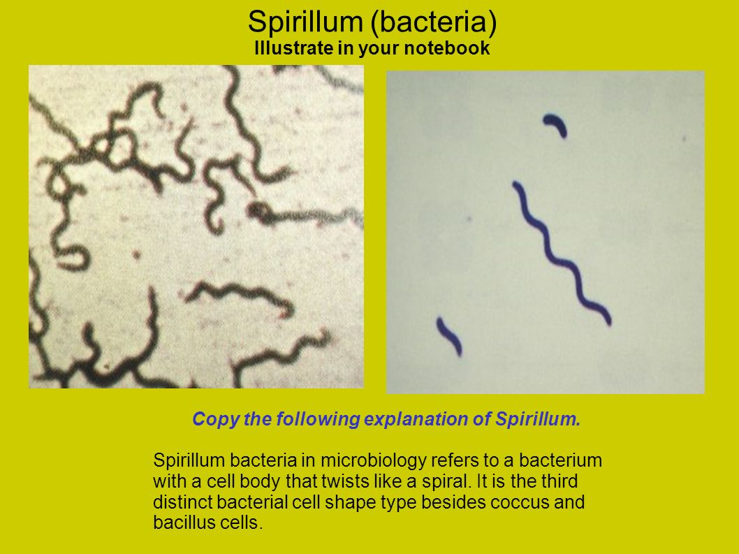 Spirillum (bacteria) Illustrate in your notebook Copy the following explanation of Spirillum. Spirillum bacteria in microbiology refers to a bacterium