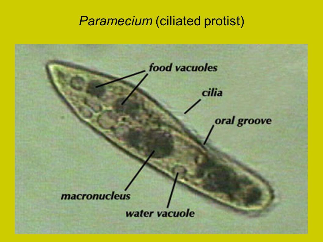 Paramecium (ciliated protist)
