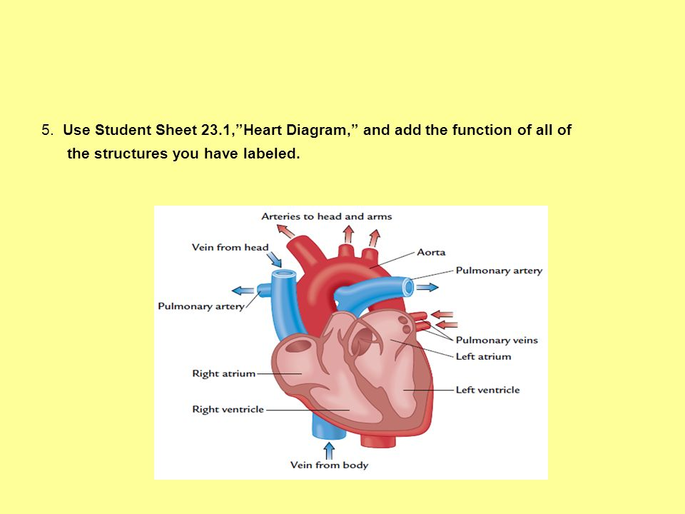5. Use Student Sheet 23.1,Heart Diagram, and add the function of all of the structures you have labeled.