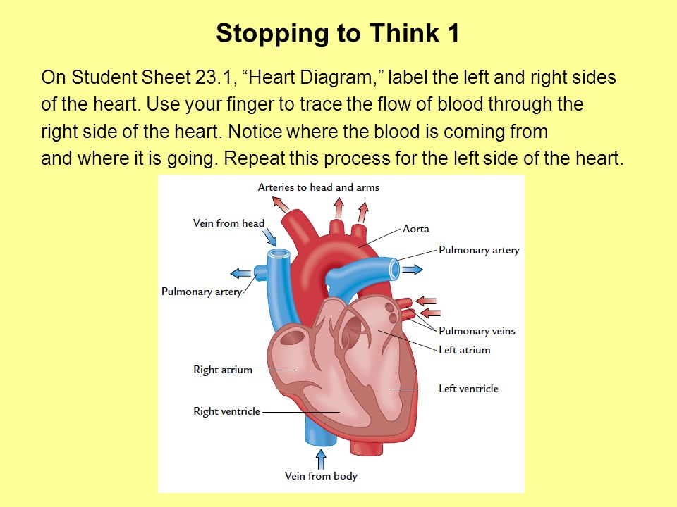 Stopping to Think 1 On Student Sheet 23.1, Heart Diagram, label the left and right sides of the heart. Use your finger to trace the flow of blood thro