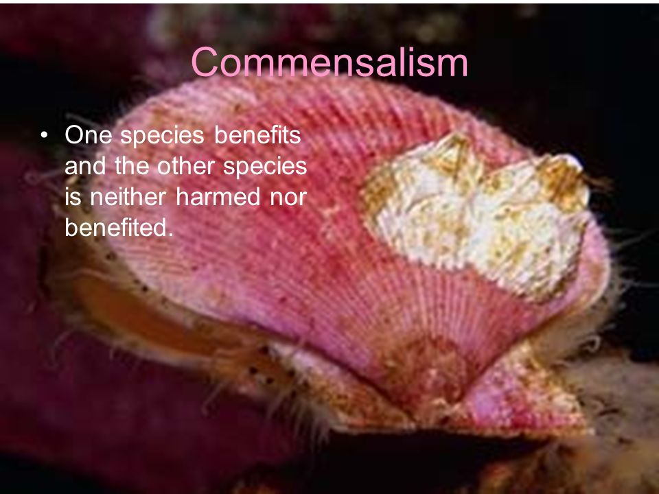 Commensalism One species benefits and the other species is neither harmed nor benefited.