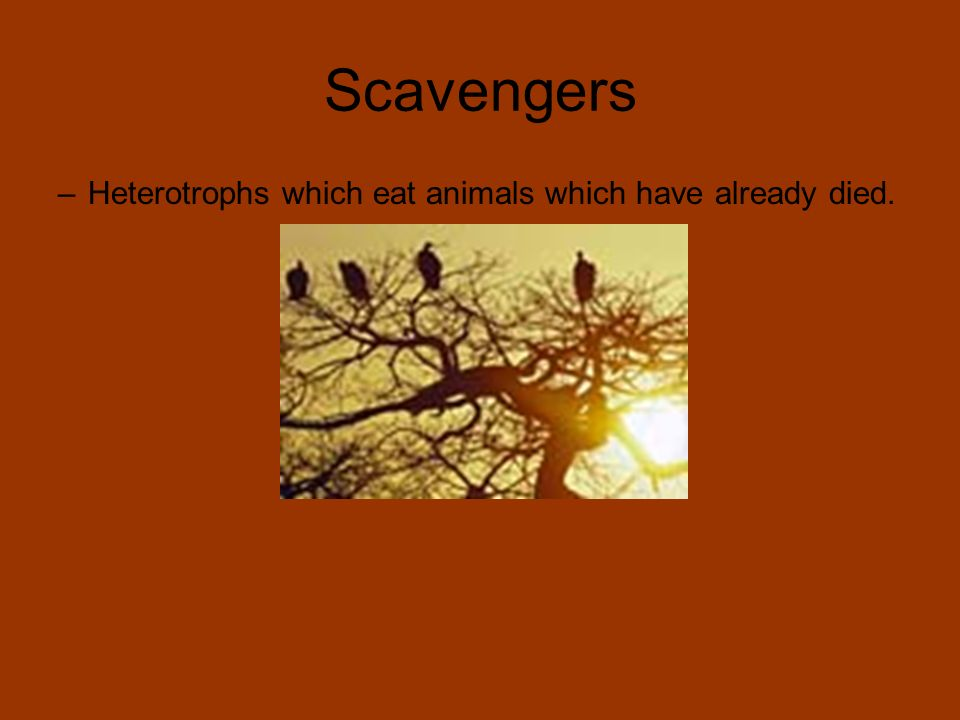 Scavengers –Heterotrophs which eat animals which have already died.