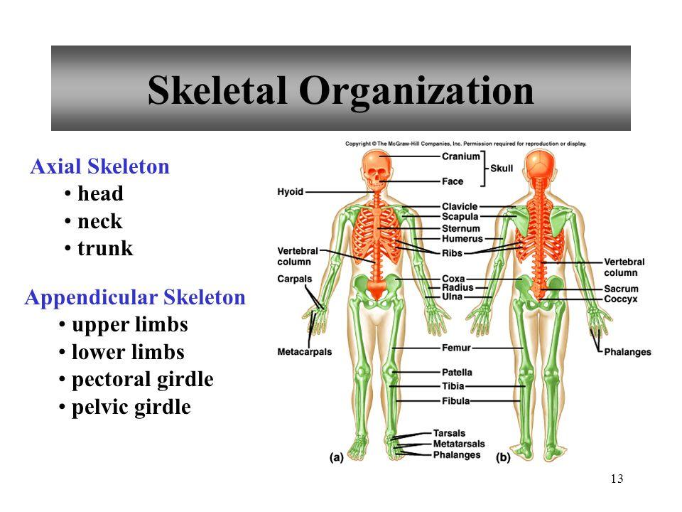 13 Skeletal Organization Axial Skeleton head neck trunk Appendicular Skeleton upper limbs lower limbs pectoral girdle pelvic girdle