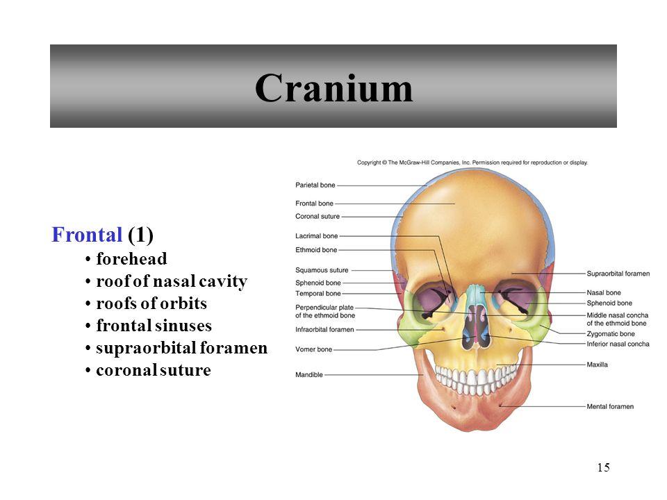 15 Cranium Frontal (1) forehead roof of nasal cavity roofs of orbits frontal sinuses supraorbital foramen coronal suture