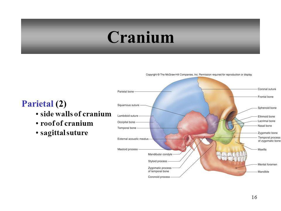 16 Cranium Parietal (2) side walls of cranium roof of cranium sagittal suture