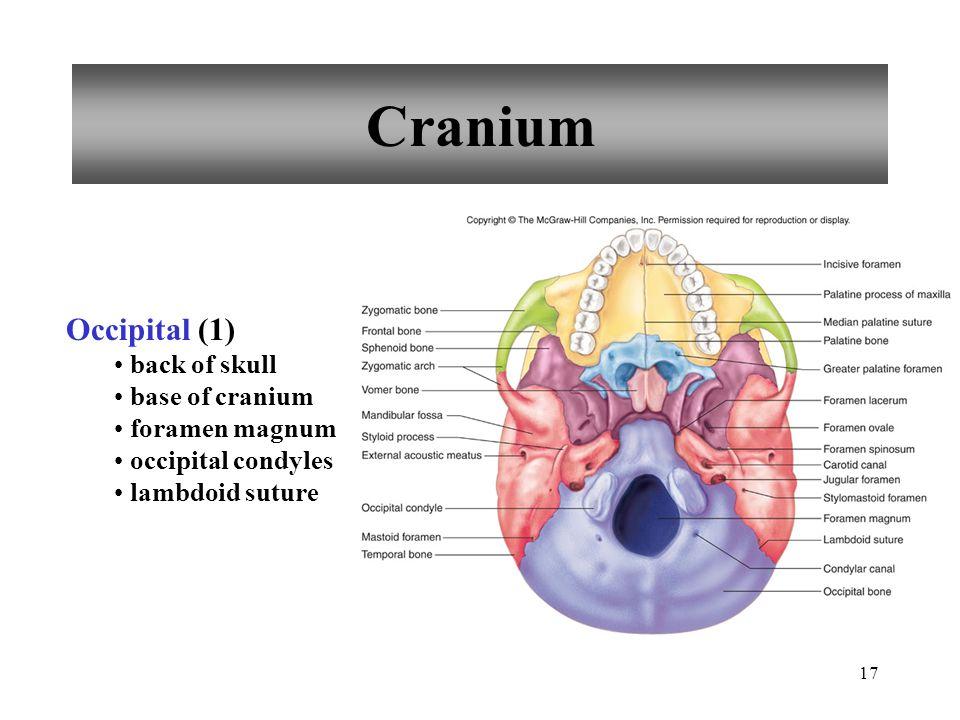 17 Cranium Occipital (1) back of skull base of cranium foramen magnum occipital condyles lambdoid suture