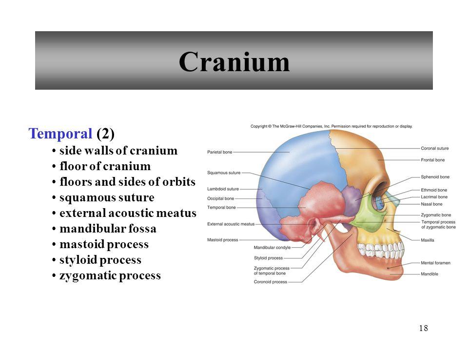 18 Cranium Temporal (2) side walls of cranium floor of cranium floors and sides of orbits squamous suture external acoustic meatus mandibular fossa ma