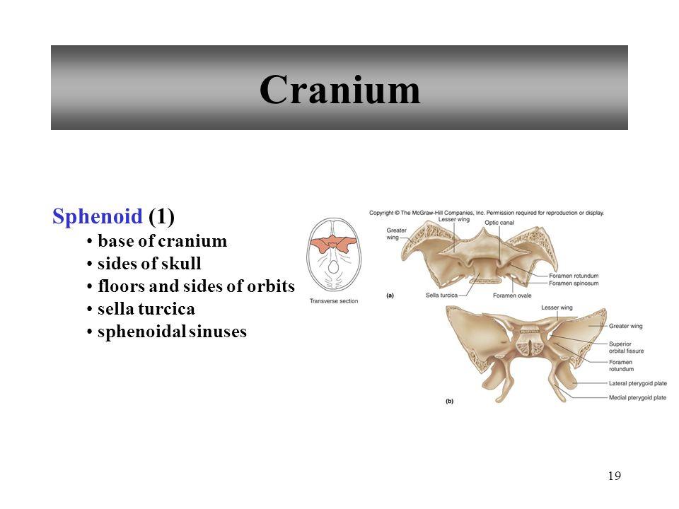 19 Cranium Sphenoid (1) base of cranium sides of skull floors and sides of orbits sella turcica sphenoidal sinuses