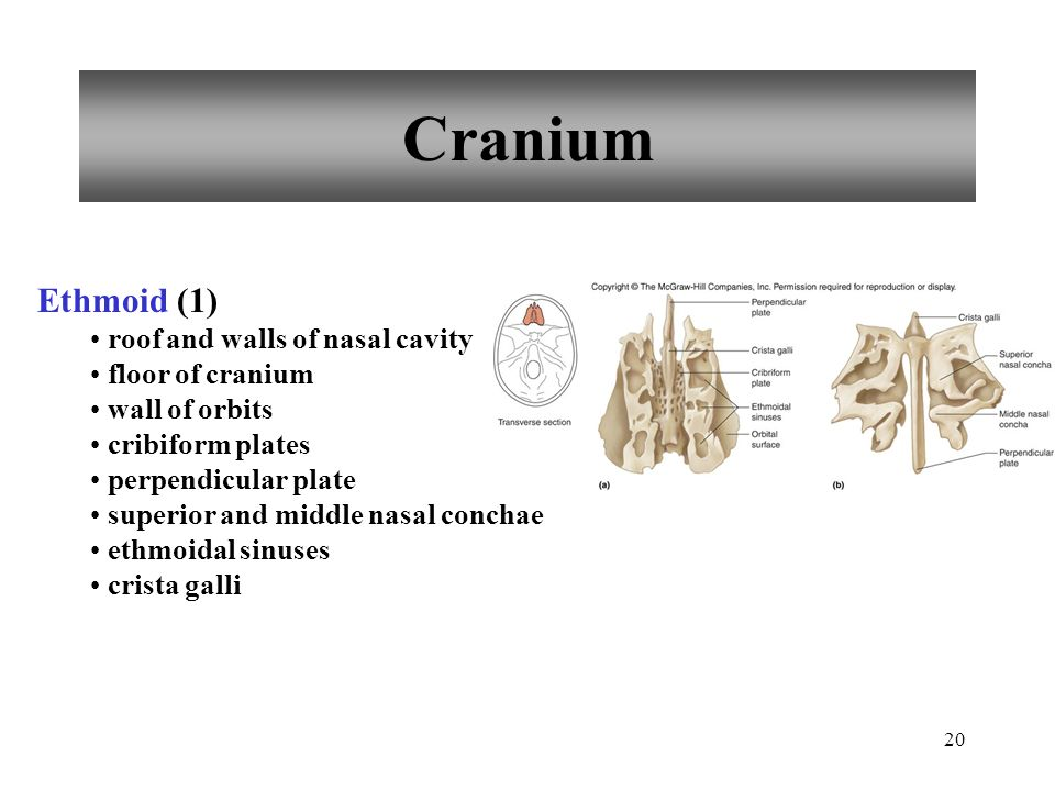 20 Cranium Ethmoid (1) roof and walls of nasal cavity floor of cranium wall of orbits cribiform plates perpendicular plate superior and middle nasal c