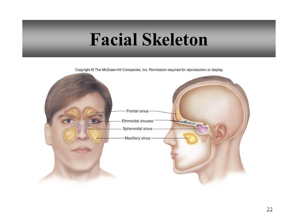 22 Facial Skeleton
