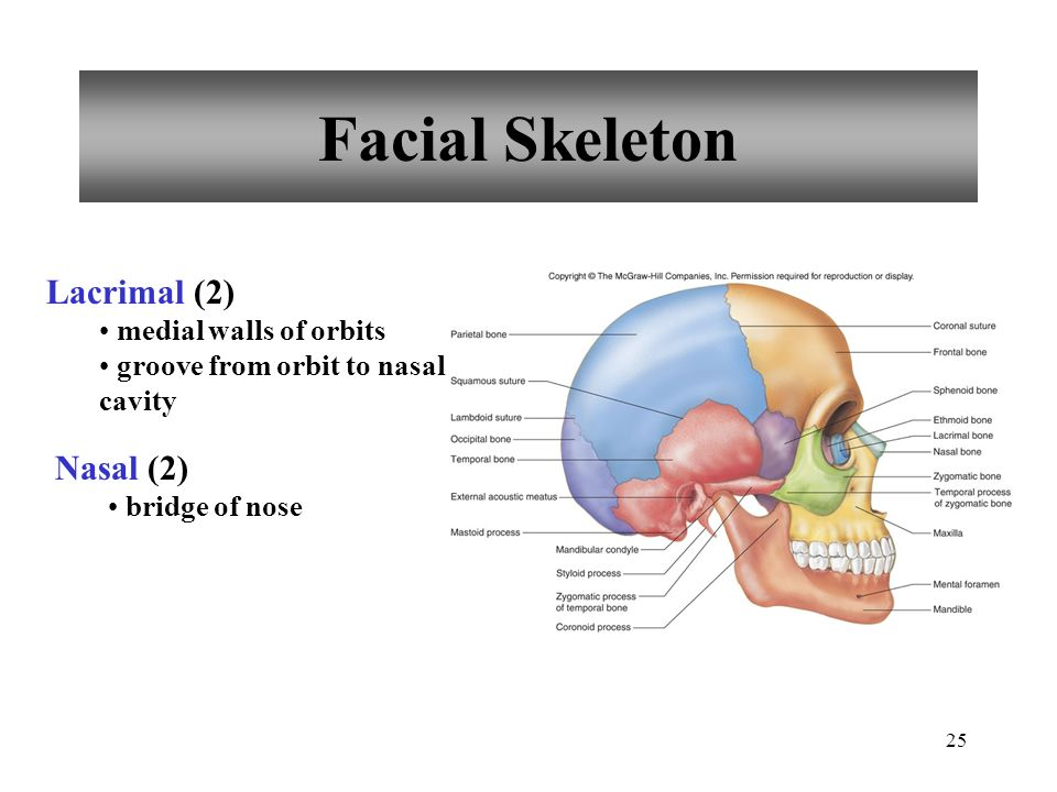 25 Facial Skeleton Lacrimal (2) medial walls of orbits groove from orbit to nasal cavity Nasal (2) bridge of nose