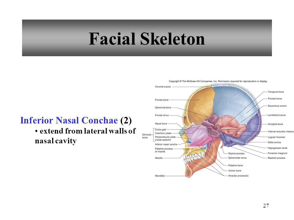 27 Facial Skeleton Inferior Nasal Conchae (2) extend from lateral walls of nasal cavity