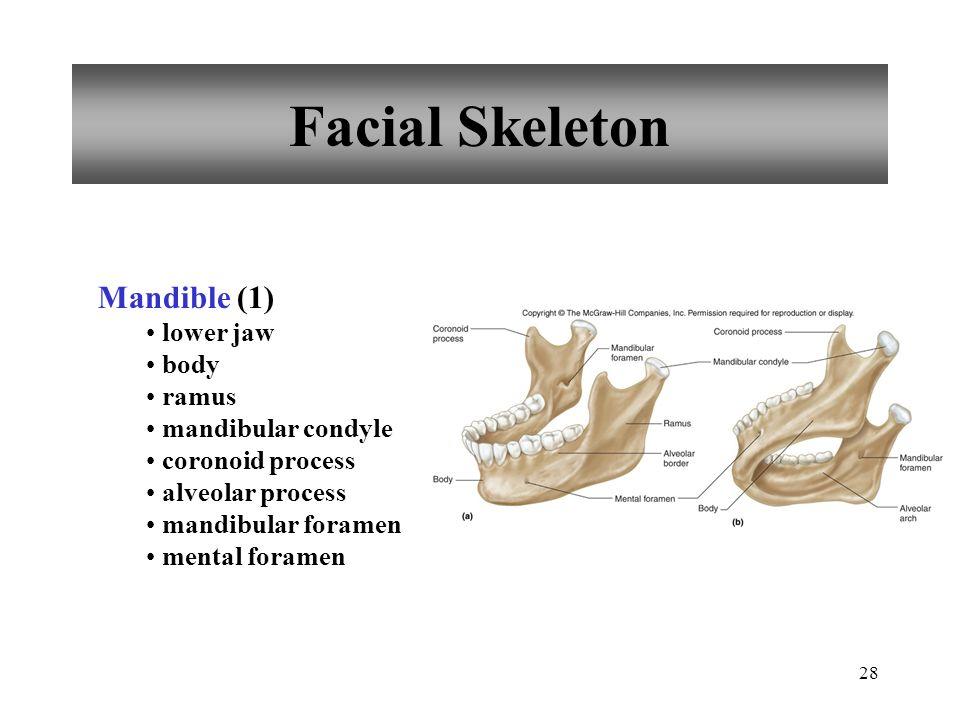 28 Facial Skeleton Mandible (1) lower jaw body ramus mandibular condyle coronoid process alveolar process mandibular foramen mental foramen