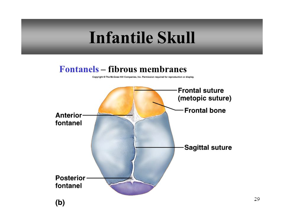 29 Infantile Skull Fontanels – fibrous membranes