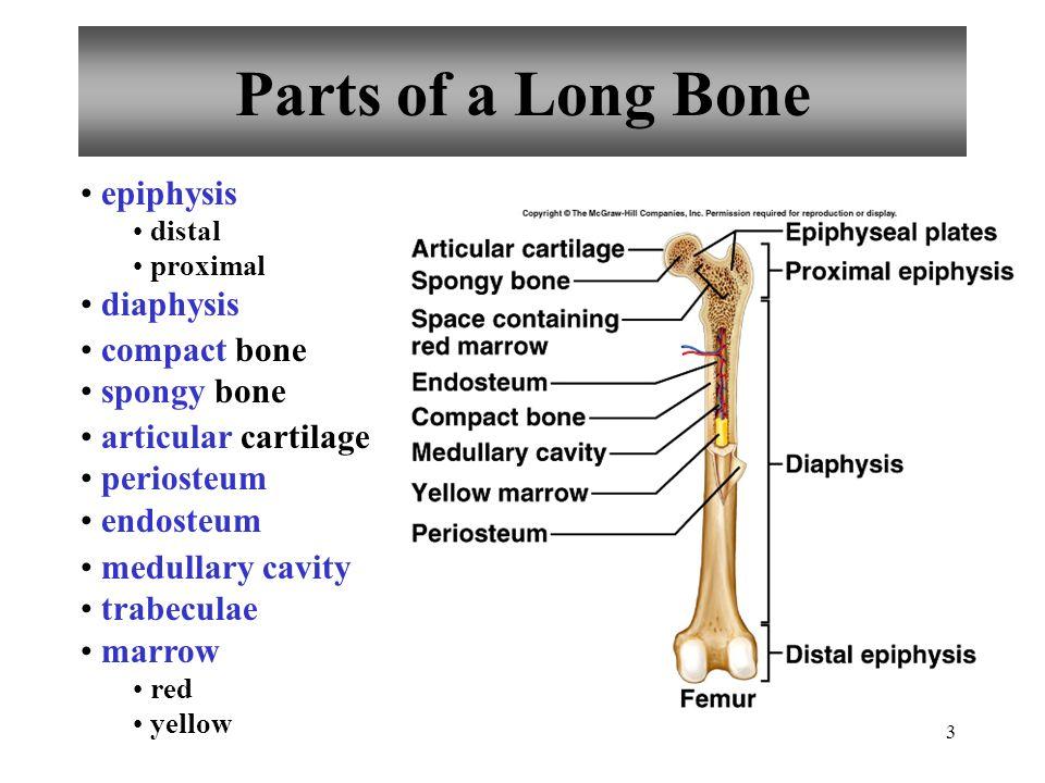 44 Upper Limb Humerus Radius Ulna Carpals Metacarpals Phalanges