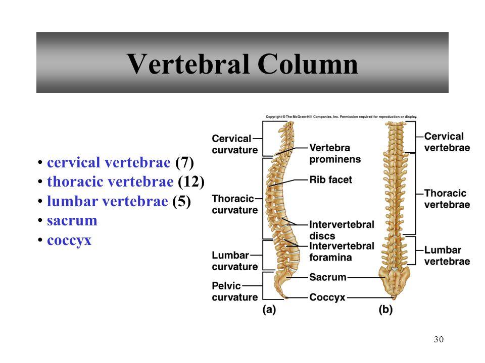 30 Vertebral Column cervical vertebrae (7) thoracic vertebrae (12) lumbar vertebrae (5) sacrum coccyx