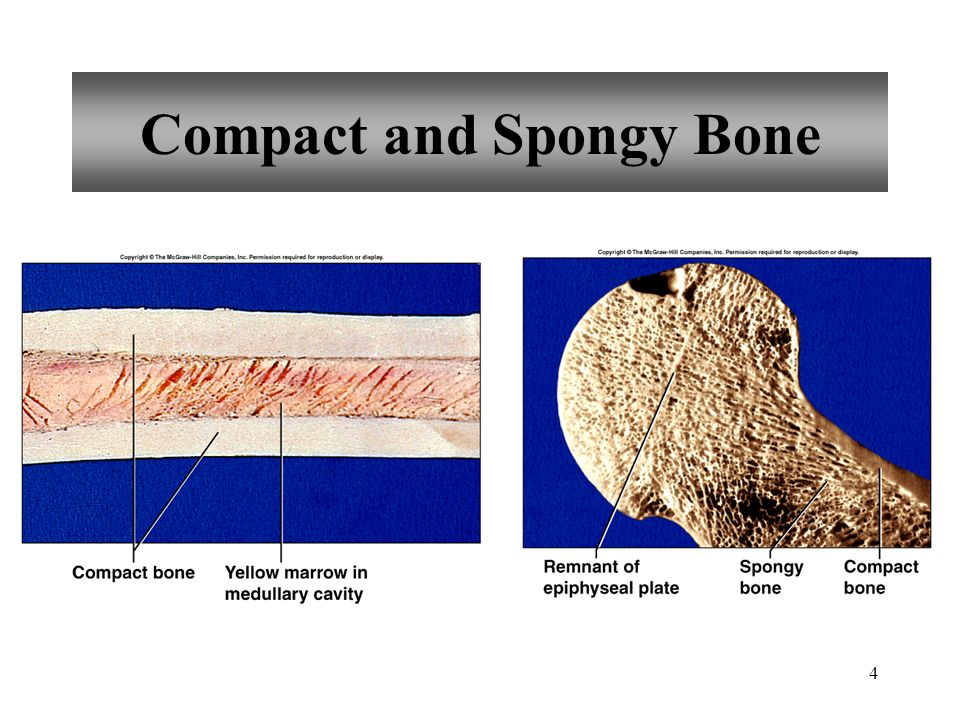 5 Microscopic Structure of Compact Bone osteon central canal perforating canal osteocyte lacuna bone matrix canaliculus