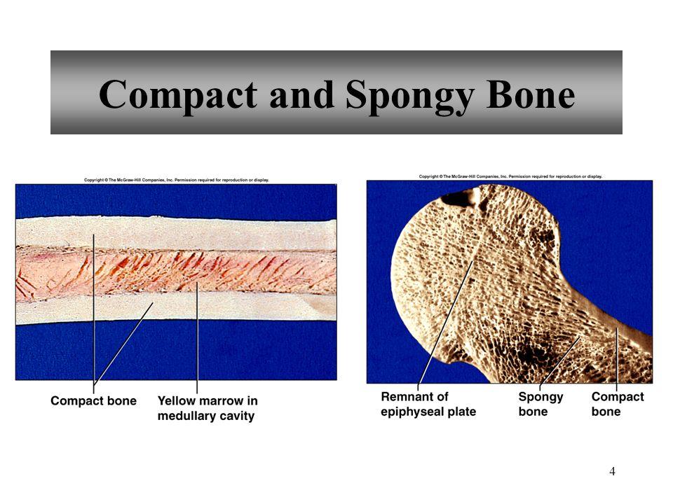35 Sacrum five fused vertebrae median sacral crest posterior sacral foramina posterior wall of pelvic cavity sacral promontory