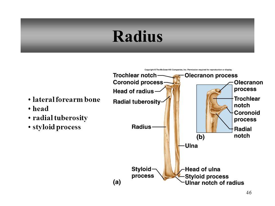 46 Radius lateral forearm bone head radial tuberosity styloid process