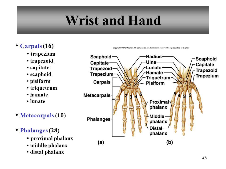 48 Wrist and Hand Carpals (16) trapezium trapezoid capitate scaphoid pisiform triquetrum hamate lunate Metacarpals (10) Phalanges (28) proximal phalan