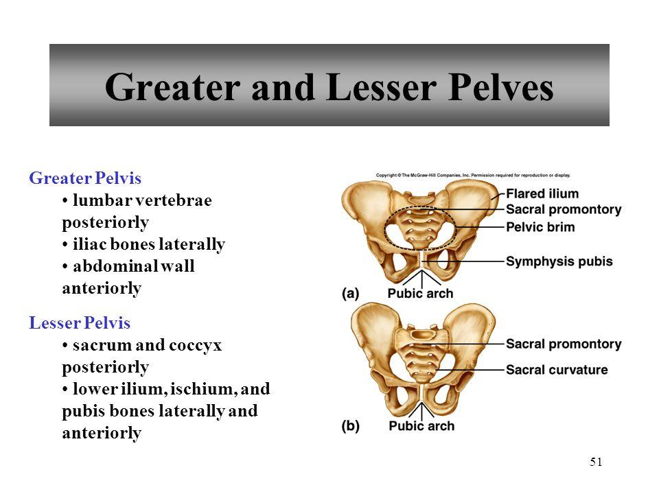 51 Greater and Lesser Pelves Greater Pelvis lumbar vertebrae posteriorly iliac bones laterally abdominal wall anteriorly Lesser Pelvis sacrum and cocc