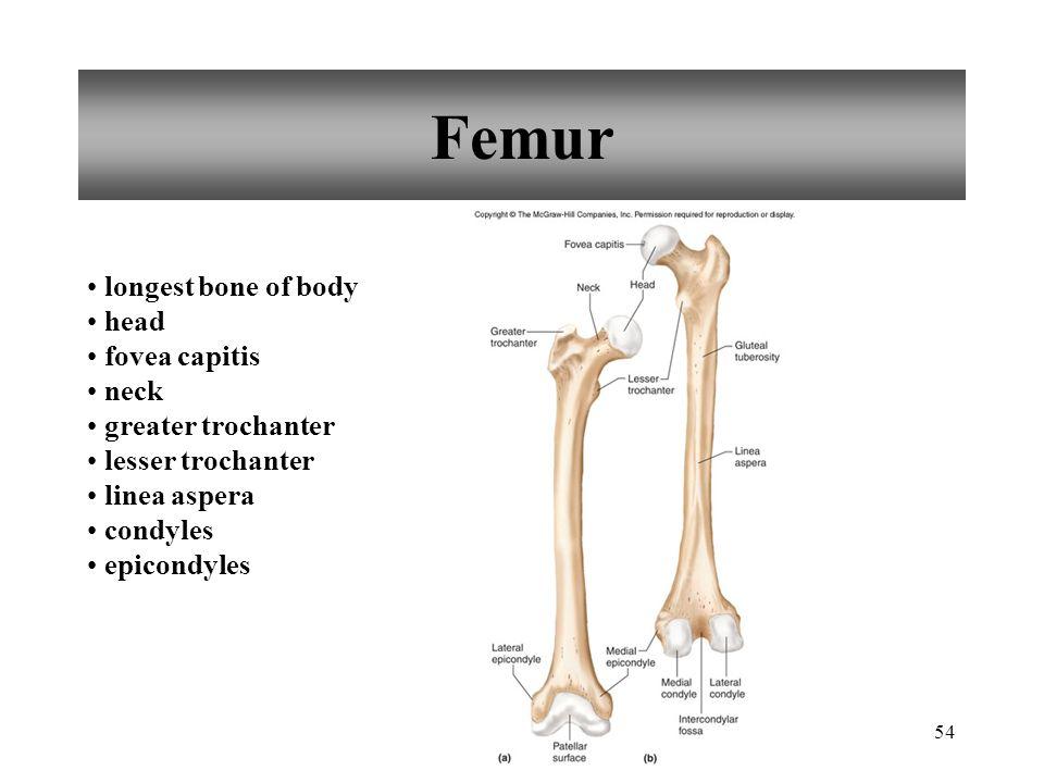 54 Femur longest bone of body head fovea capitis neck greater trochanter lesser trochanter linea aspera condyles epicondyles