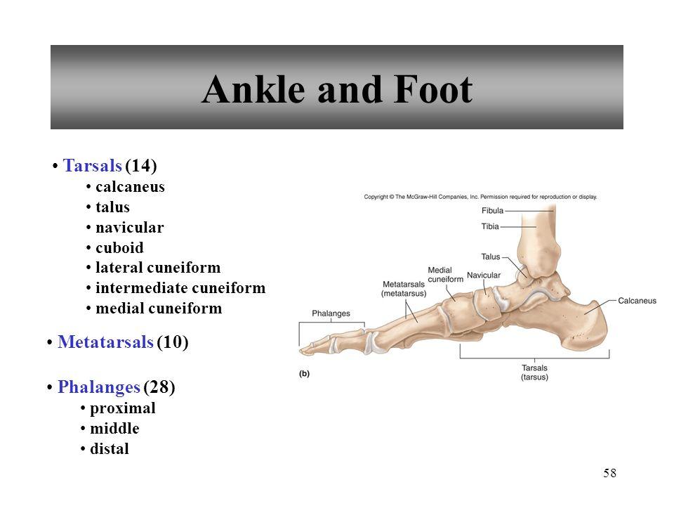 58 Ankle and Foot Tarsals (14) calcaneus talus navicular cuboid lateral cuneiform intermediate cuneiform medial cuneiform Metatarsals (10) Phalanges (