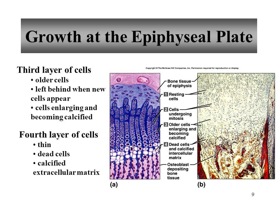 40 Sternum Manubrium Body Xiphoid process