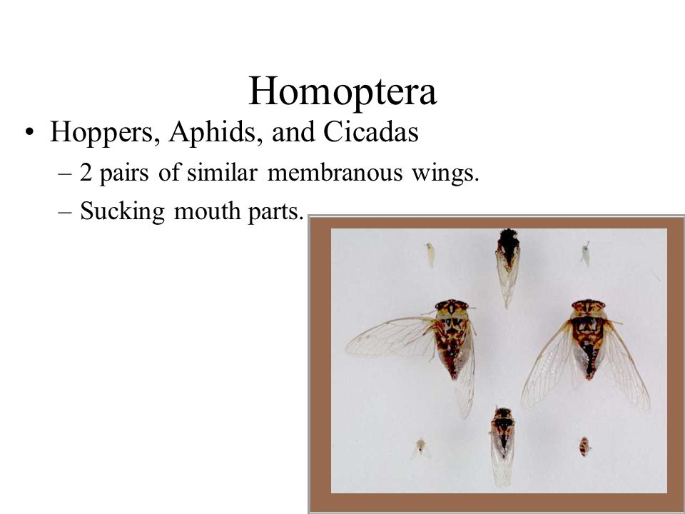 Homoptera Hoppers, Aphids, and Cicadas –2 pairs of similar membranous wings. –Sucking mouth parts.
