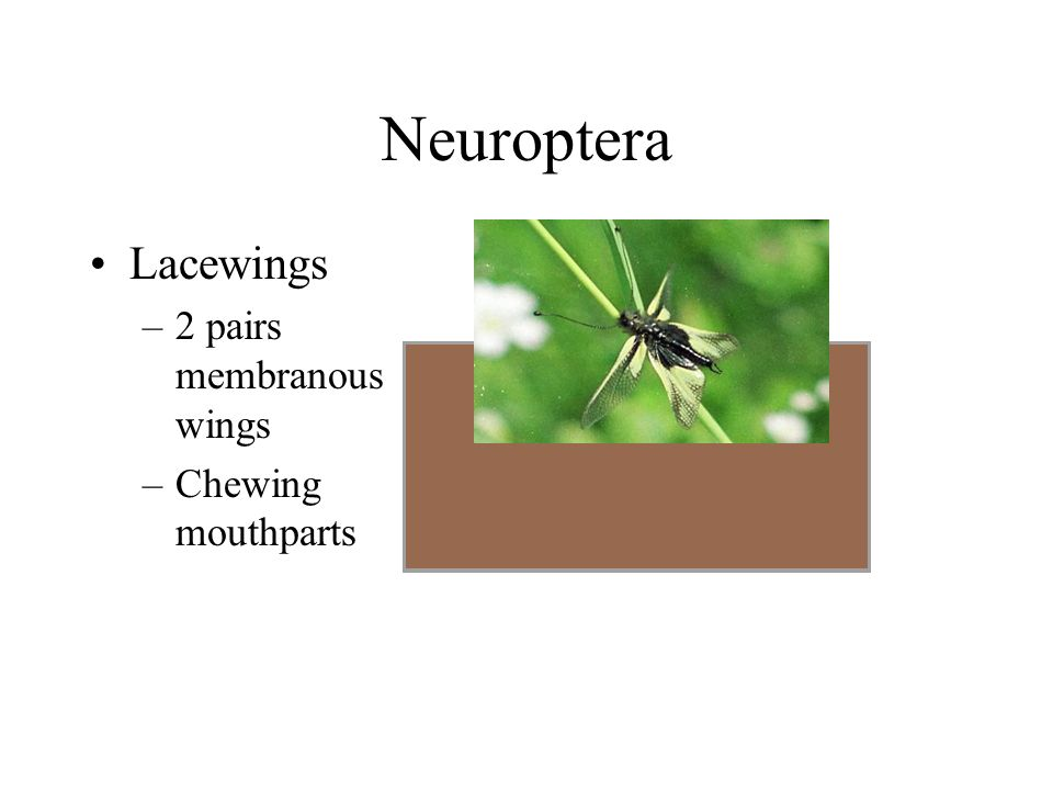 Neuroptera Lacewings –2 pairs membranous wings –Chewing mouthparts