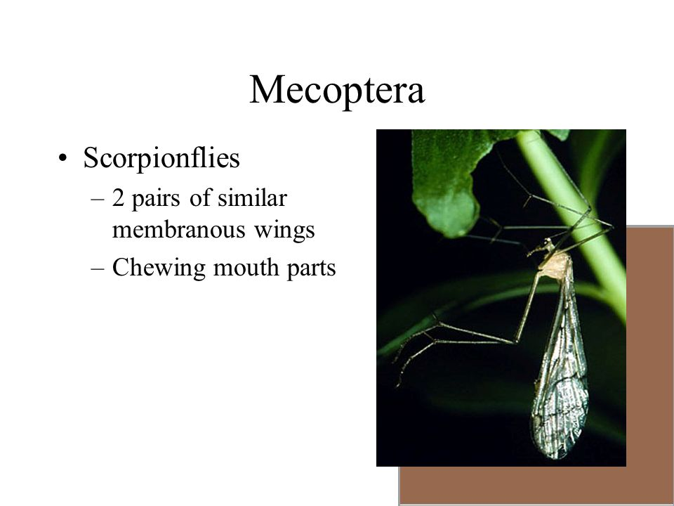 Mecoptera Scorpionflies –2 pairs of similar membranous wings –Chewing mouth parts
