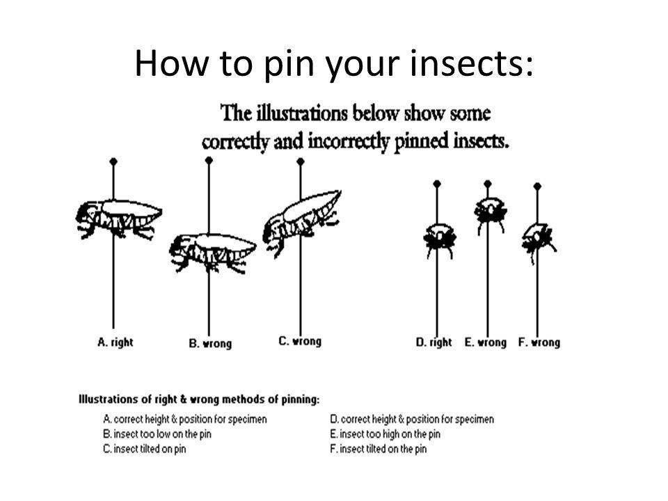 How to pin your insects: