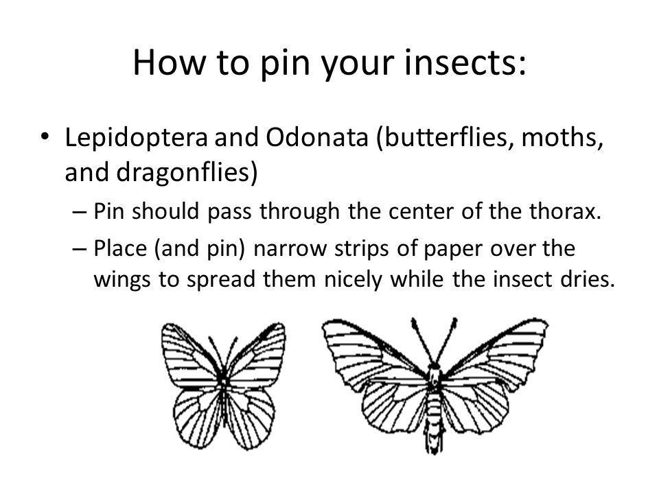 How to pin your insects: Lepidoptera and Odonata (butterflies, moths, and dragonflies) – Pin should pass through the center of the thorax. – Place (an