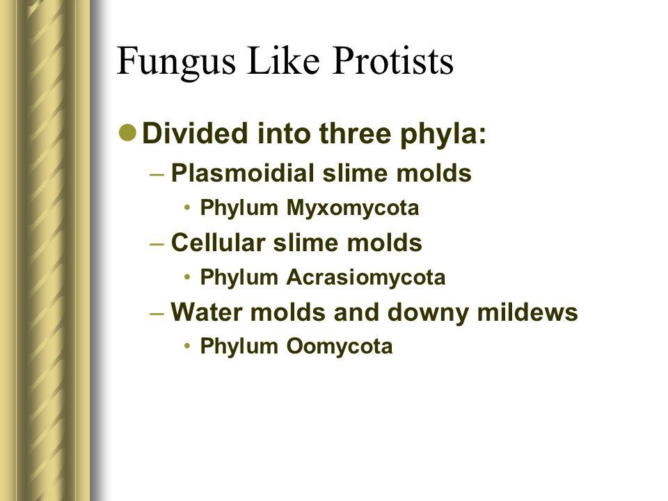 Fungus Like Protists Divided into three phyla: –Plasmoidial slime molds Phylum Myxomycota –Cellular slime molds Phylum Acrasiomycota –Water molds and