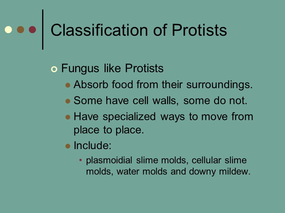Classification of Protists Fungus like Protists Absorb food from their surroundings.