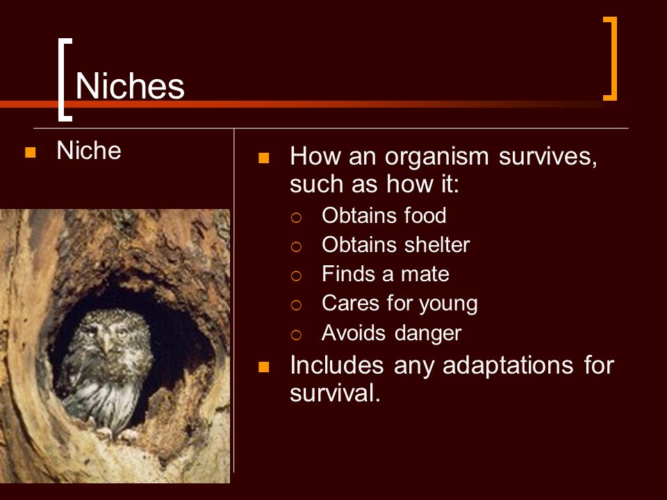 Niches Niche How an organism survives, such as how it: Obtains food Obtains shelter Finds a mate Cares for young Avoids danger Includes any adaptation