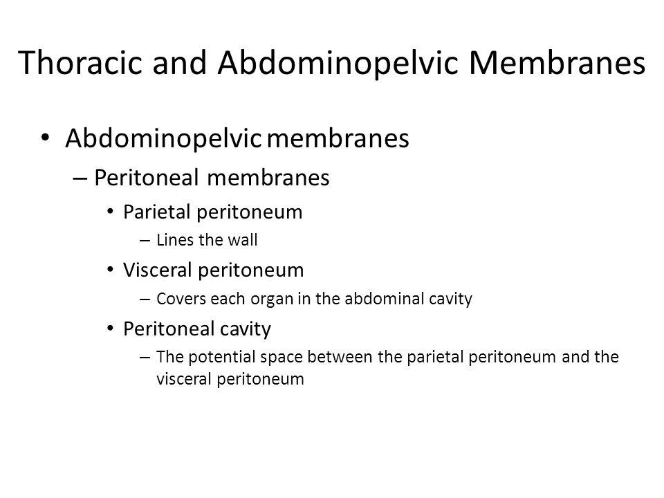 Abdominopelvic membranes – Peritoneal membranes Parietal peritoneum – Lines the wall Visceral peritoneum – Covers each organ in the abdominal cavity P