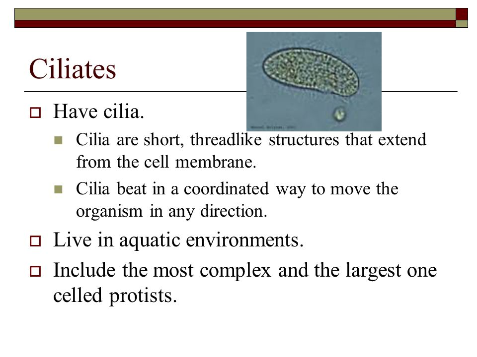 Ciliates Structure of ciliates: 2 nuclei Macronucleus Controls: feeding exchange of carbon dioxide and oxygen amount of water and salts entering and leaving the ciliate.