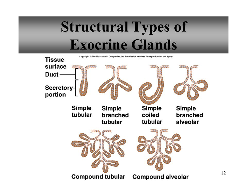 12 Structural Types of Exocrine Glands
