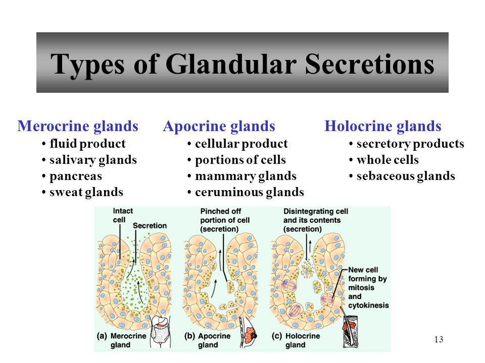 13 Types of Glandular Secretions Merocrine glands fluid product salivary glands pancreas sweat glands Apocrine glands cellular product portions of cel