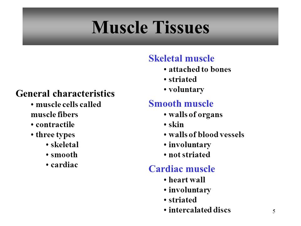 5 Muscle Tissues General characteristics muscle cells called muscle fibers contractile three types skeletal smooth cardiac Skeletal muscle attached to
